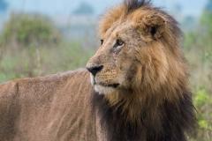 """Panthera leo """"African lion"""""""