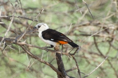 Dinemellia dinemelli 'white-headed buffalo weaver'