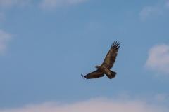 Aquila nipalensis 'steppe eagle'