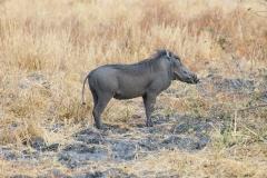 Phacochoerus africanus 'common warthog'