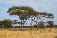 Acacias on the African plains