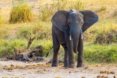 Loxodonta africana 'African bush elephant'