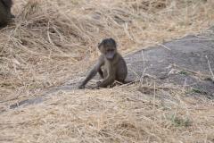 Papio anubis 'olive baboon' juvenile