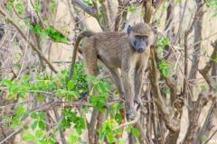 Papio anubis 'olive baboon'