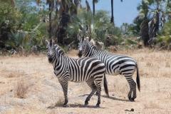 Equus quagga boehmi 'Grant's zebra'