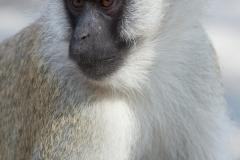 Chlorocebus pygerythrus 'vervet monkey'