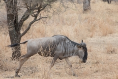 Connochaetes taurinus 'blu wildebeest'