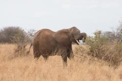 Loxodonta africana 'African elephant' foraging