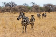 a zeal of Equus quagga boehmi 'Grant's zebra'
