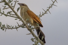 Centropus superciliosus 'white-browed coucal'