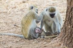 Chlorocebus pygerythrus 'vervet monkey' family