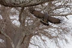 Polyboroides typus 'African harrier hawk'