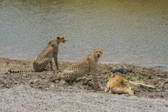 pair of Acinonyx jubatus hecki 'northwestern African cheetah' with fresh kill