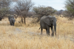 Loxodonta africana 'African elephant' family in the bush