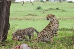 Acinonyx jubatus raineyii 'Tanzanian cheetah' mother and cubs