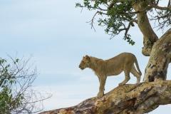 Panthera leo 'African lion' juvenile male