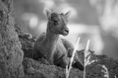Ovis canadensis 'Bighorn sheep' calf