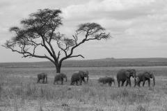 elephants on parade, Tarangire National Park - Tanzania