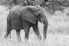 Loxodonta africana 'African elephant' - B&W