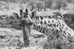 giraffe eating acacia leaves, Serengeti National Park - Tanzania