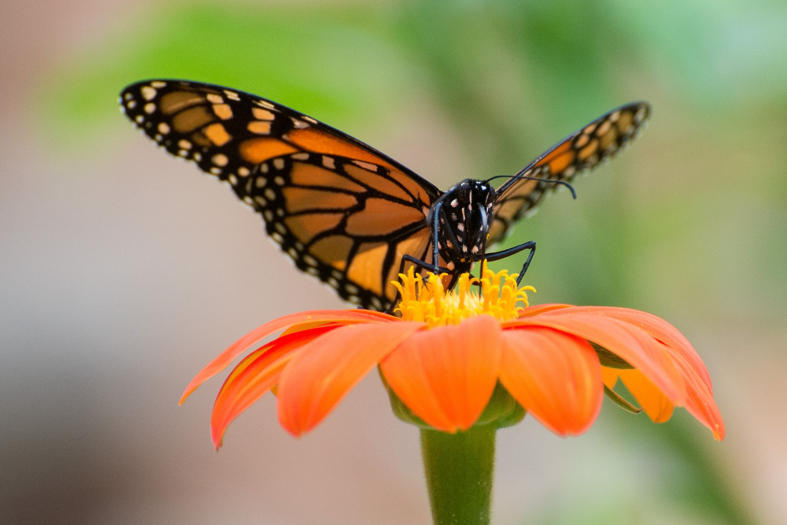 Danaus plexippus 'monarch butterfly' on orange and yellow flower
