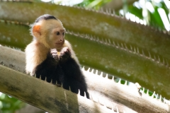 Cebus imitator 'Central American white-faced capuchin'
