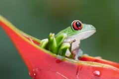 Agalychnis callidryas 'red-eyed tree frog'