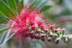 Melaleuca citrina 'crimson bottlebrush' - I