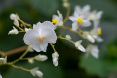 Begonia sp. 'white begonia'