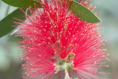 Melaleuca citrina 'crimson bottlebrush' - II