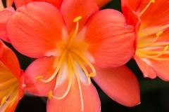 Clivia miniata 'French hybrid' 'French hybrid natal lily'