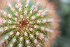 Echinopsis sp. 'hedgehog cactus'