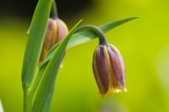 Frittillaria assyriaca 'uva vulips - Fox's grape'