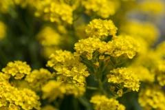Aurinia saxatilis var. 'Compactum' 'basket-of-gold'