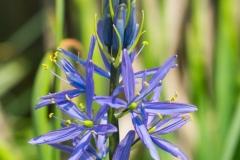 Cotinus coggygria 'Royal Purple' 'purple smoketree'
