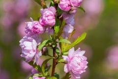 Prunus glandulosa 'flowering almond'
