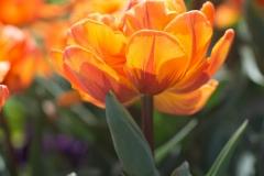 Tulipa 'orange princess' 'double late tulip'