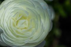 Ranunculus asiaticus 'White Persian Buttercup'