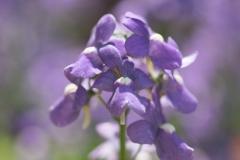 Primula vulgaris 'Primlet Sunrise Primrose'