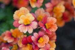 Phlox paniculata 'Barsixtytwo' 'Coral Flame garden flox'