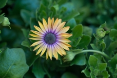 Osteospermum sp. 'African daisy'