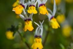 Nemesia cheiranthus 'Masquerade' 'Long-eared Nemisa'