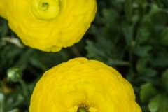 a bouquet of Ranunculus asiaticus 'Maché Yellow Persian Buttercup'