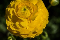Ranunculus asiaticus 'Maché Yellow Persian Buttercup' with waterdrops - III