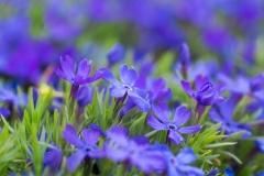 Phlox sp. 'violet pinwheels'