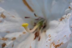 Rhodedendron sp. stigma closeup