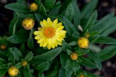 Xerochrysum bracteatum 'MOHAVE yellow strawflower'