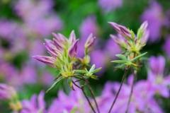 Rhododendron x 'Koromo Shikibu' 'Koromo Shikibu azalea'