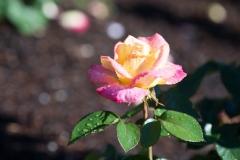 Rosa 'Baipeace' 'Love and Peace Hybrid Tea Rose'