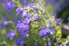 Lobelia erinus 'Dark Blue Lobelia'